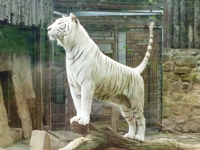 A white Bengal Tiger in Aschersleben Zoo, Germany