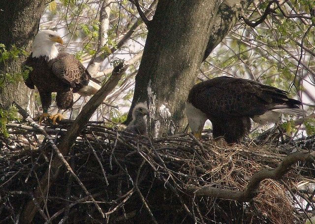Bald Eagles with their chicks