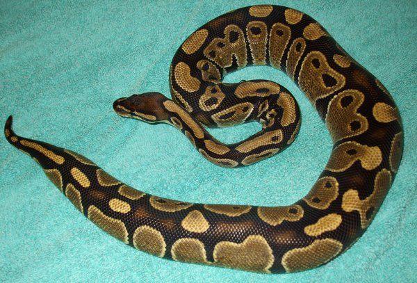 Ball Python Appearance
