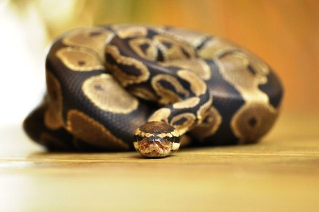 Ball Python photo