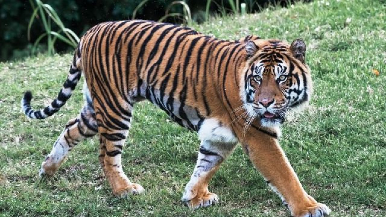 29 Interesting Facts About The Bengal Tiger | OhFact!
