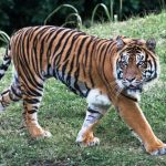 29 Interesting Facts About The Bengal Tiger