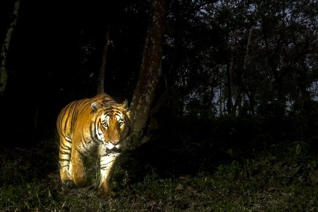 Bengal Tiger in search of Prey