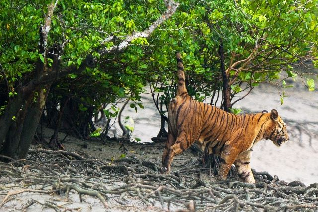 Bengal Tiger spray marking at Sundarban