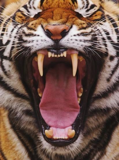 Canines of Bengal tiger