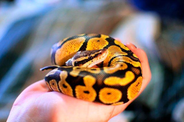 Handling of Ball Python