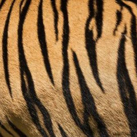 Stripes of Bengal Tiger