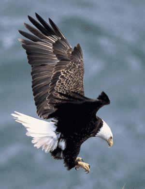 Tail of Bald Eagle