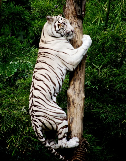 Tiger climbing the tree