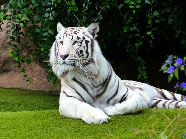 A White Bengal Tiger