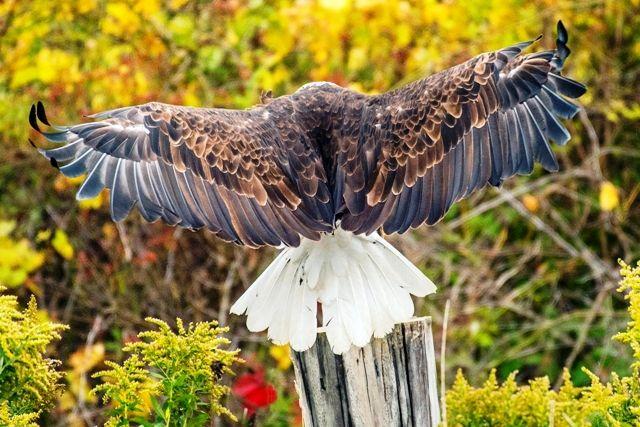 Wingspan of Bald Eagle