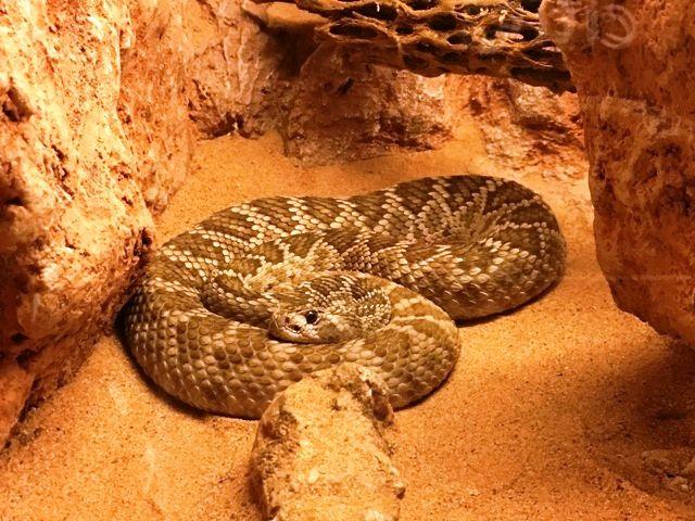 Cascabel Rattlesnake