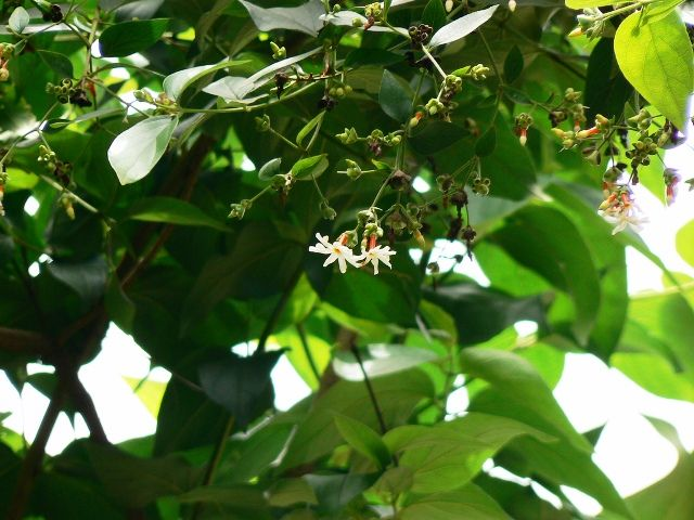 Parijaat tree with flowers