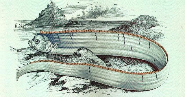 Portrait of Oarfish