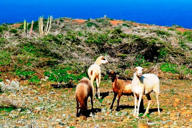 Species of goats in Arikok National Park