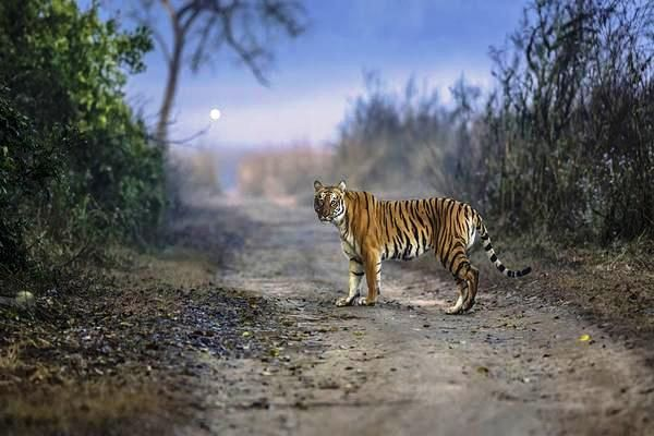 Tiger in National Park