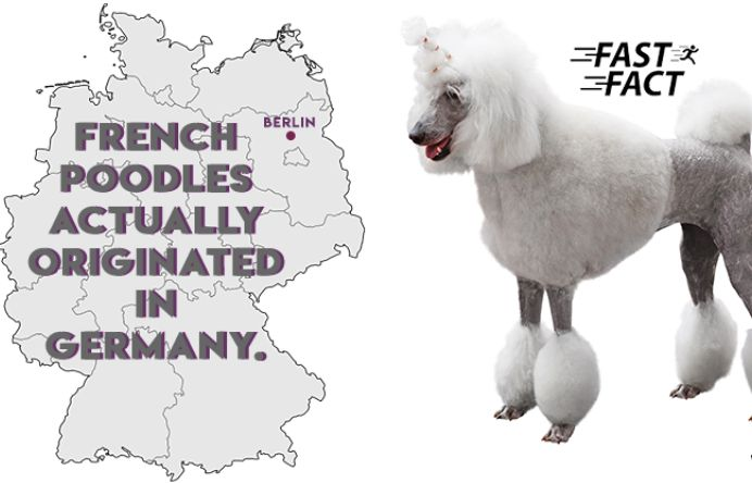 Origin of Poodles