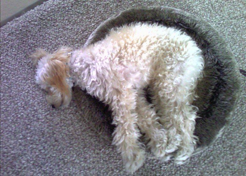 Poodle Sleeping