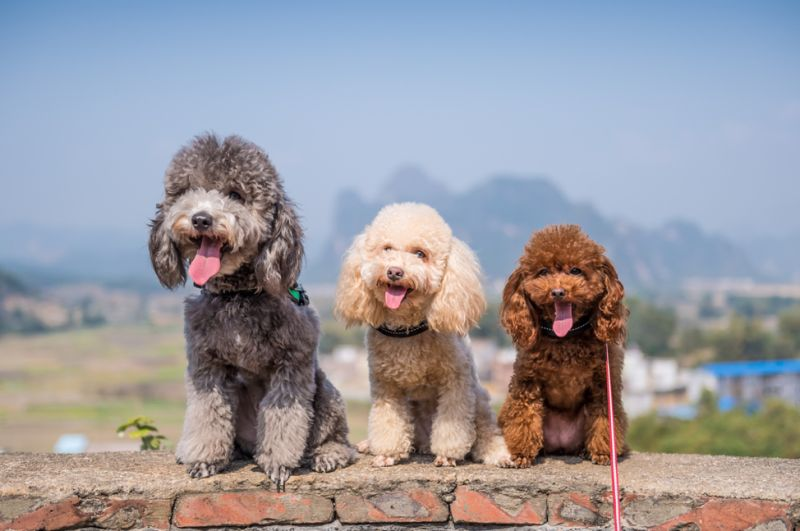 31 Interesting Facts About Poodles Ohfact