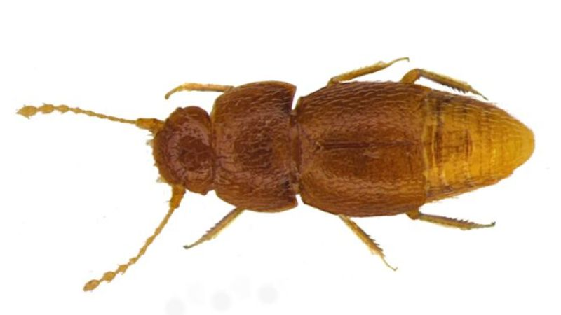 The Beetle Named After Greta Thunberg