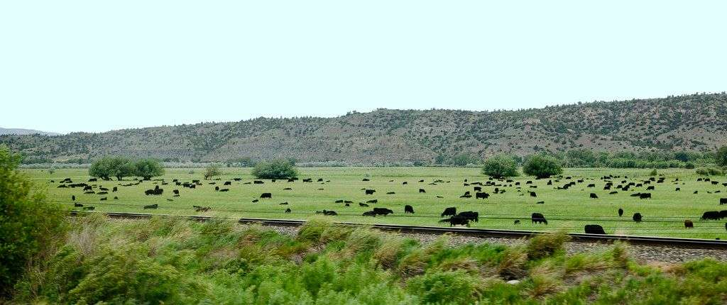 Cattle, Montana