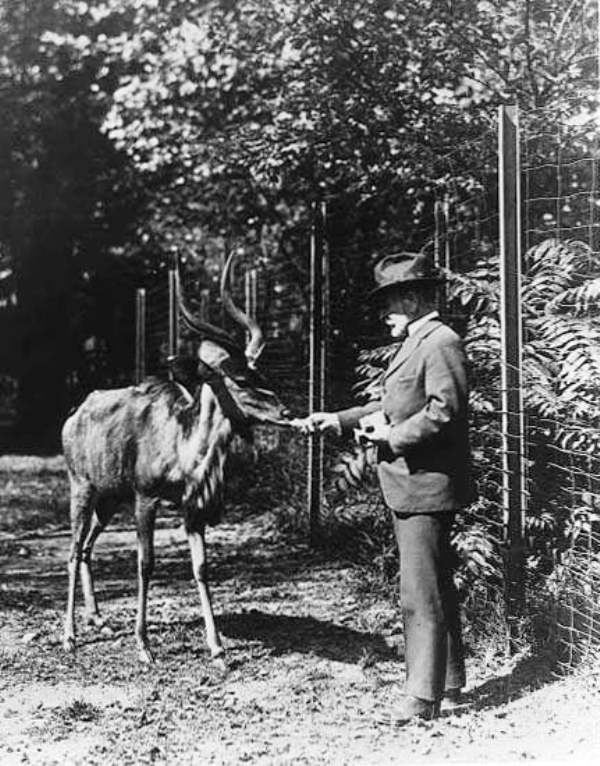 William Temple Hornaday in 1920 Feeding a Greater Kudo in Bronx Zoo